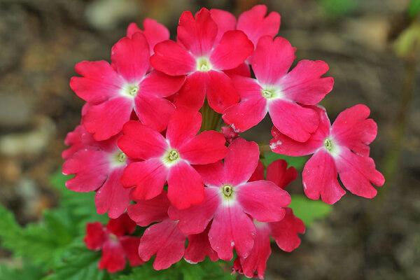 5月24日の誕生花 バーベナ