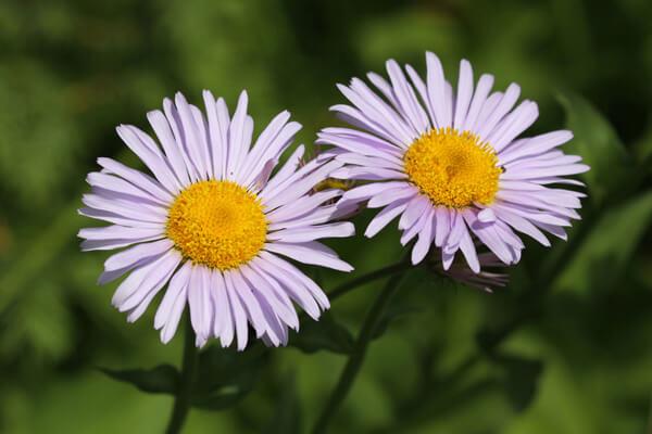 5月27日の誕生花 エリゲロン
