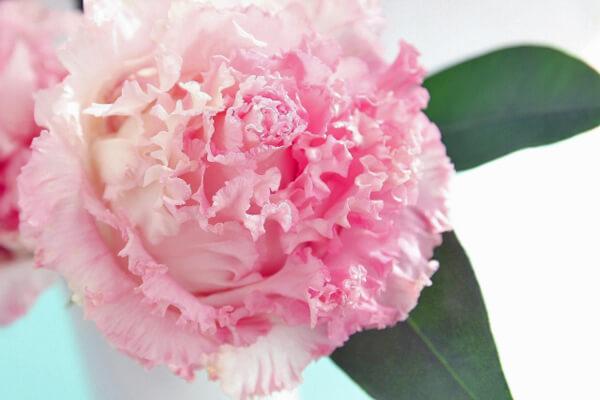 5月29日の誕生花 トルコキキョウ