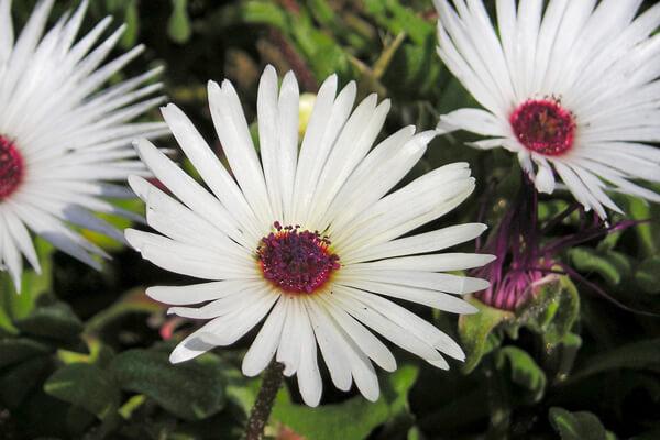 5月7日の誕生花 リビングストンデージー