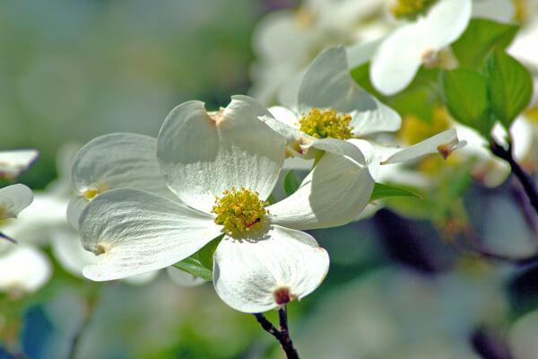5月9日の誕生花 ハナミズキ