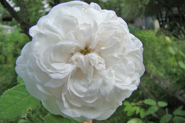 6月1日の誕生花 オールドローズ