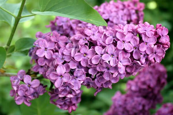 6月11日の誕生花 ライラック