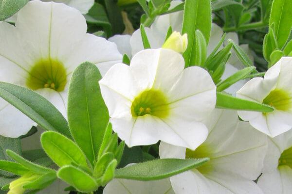 6月20日の誕生花 カリブラコア