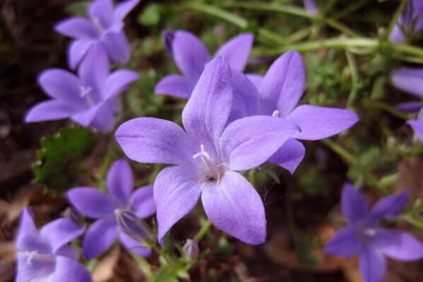 6月28日の誕生花 ベルフラワー