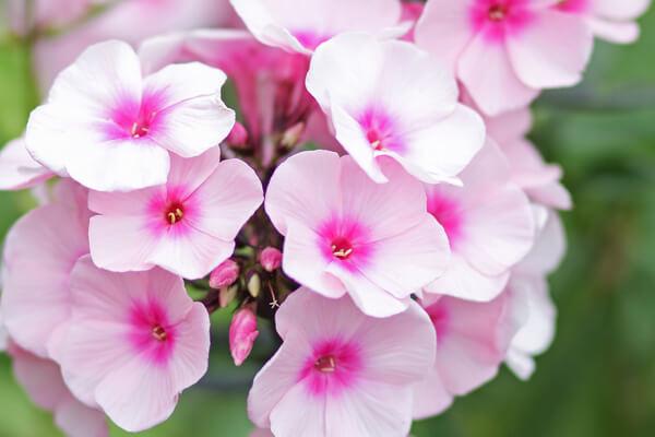 6月3日の誕生花 クサキョウチクトウ