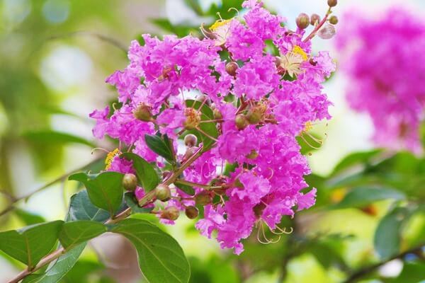 7月18日の誕生花 サルスベリ