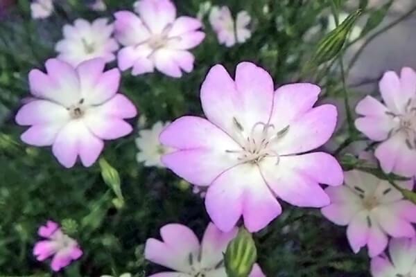 7月28日の誕生花 ビスカリア