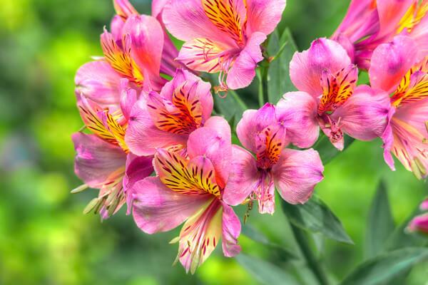 8月1日の誕生花 アルストロメリア