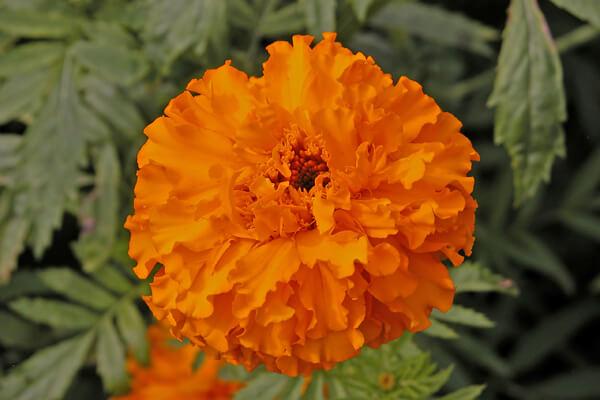 8月15日の誕生花 フレンチマリーゴールド