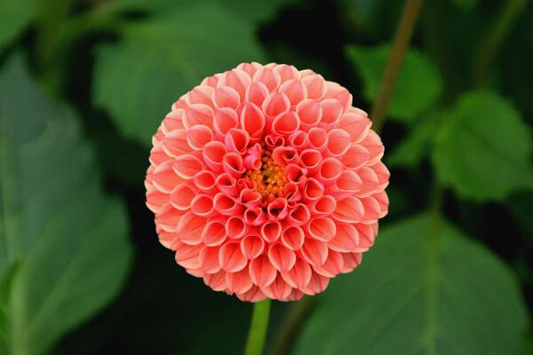 8月17日の誕生花 ダリア