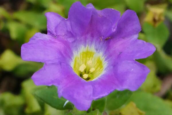 8月19日の誕生花 ノラナ