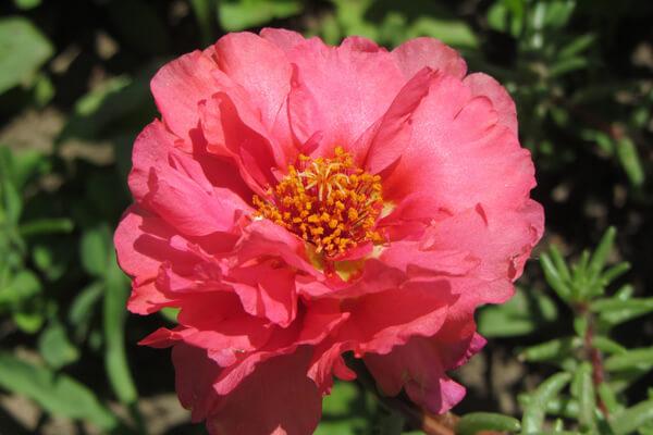 8月2日の誕生花 マツバボタン