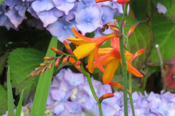 8月24日の誕生花 モントブレチア