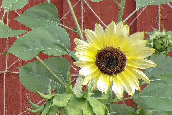 8月25日の誕生花 ヒマワリ イタリアンホワイト