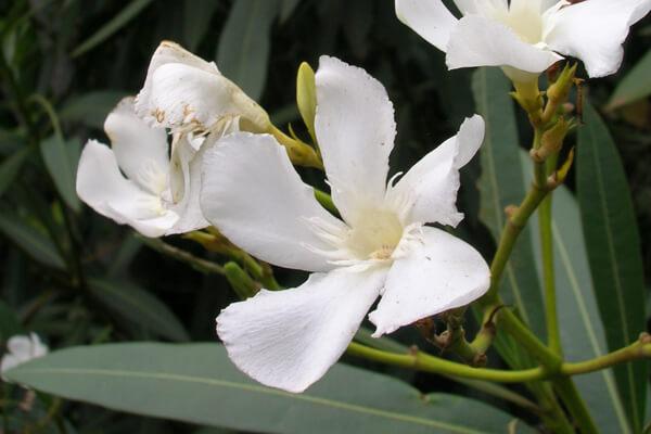 8月3日の誕生花 キョウチクトウ