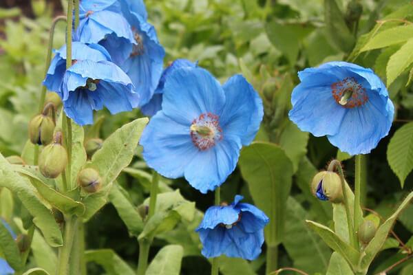 8月4日の誕生花 メコノプシス