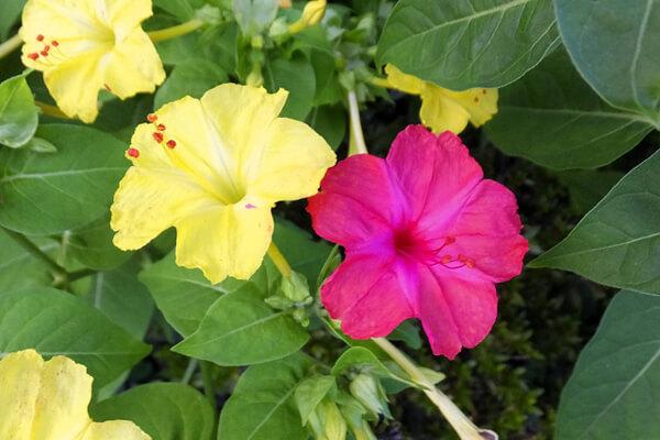 8月5日の誕生花 オシロイバナ