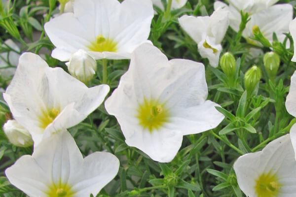 8月6日の誕生花 ニーレンベルギア