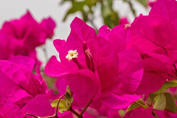 8月9日の誕生花 ブーゲンビリア