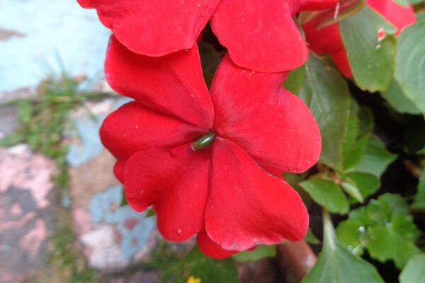 9月1日の誕生花 インパチェンス