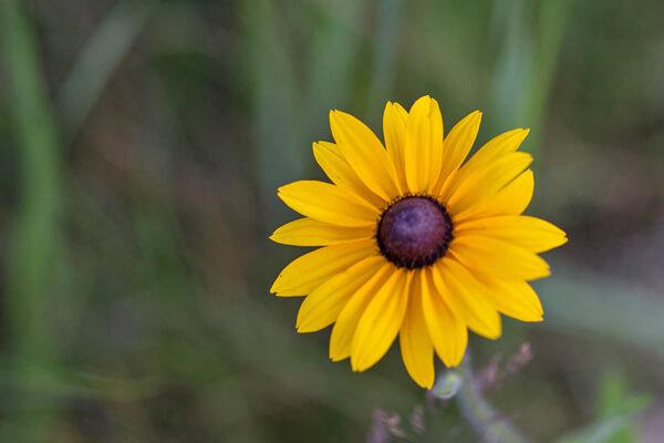 9月24日の誕生花 ルドベキア