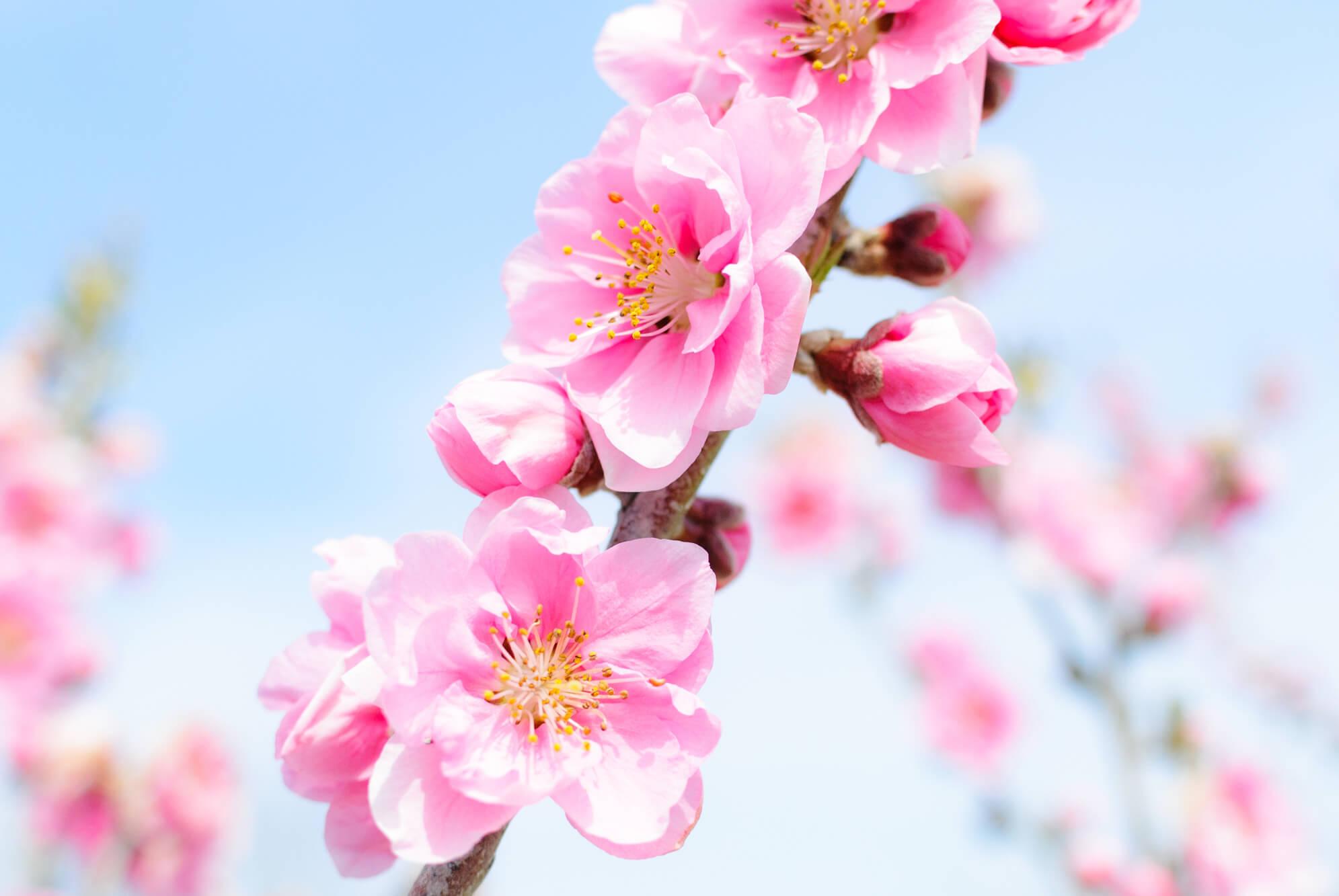 3月の誕生花カレンダー