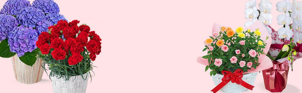花キューピットの母の日 産直花鉢植え特集
