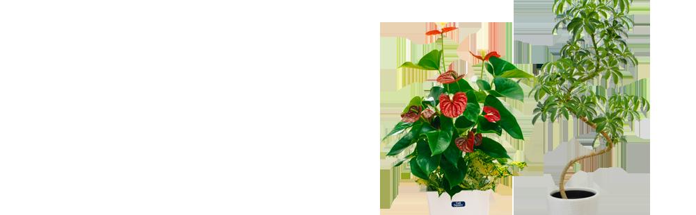 花キューピットの産直観葉植物