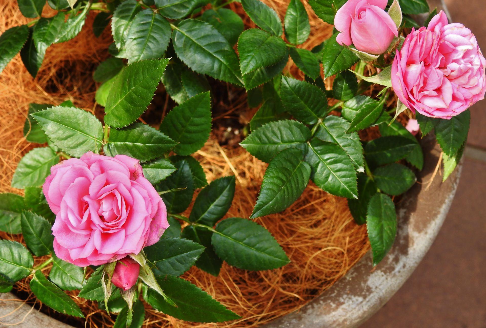 バラの花鉢植え