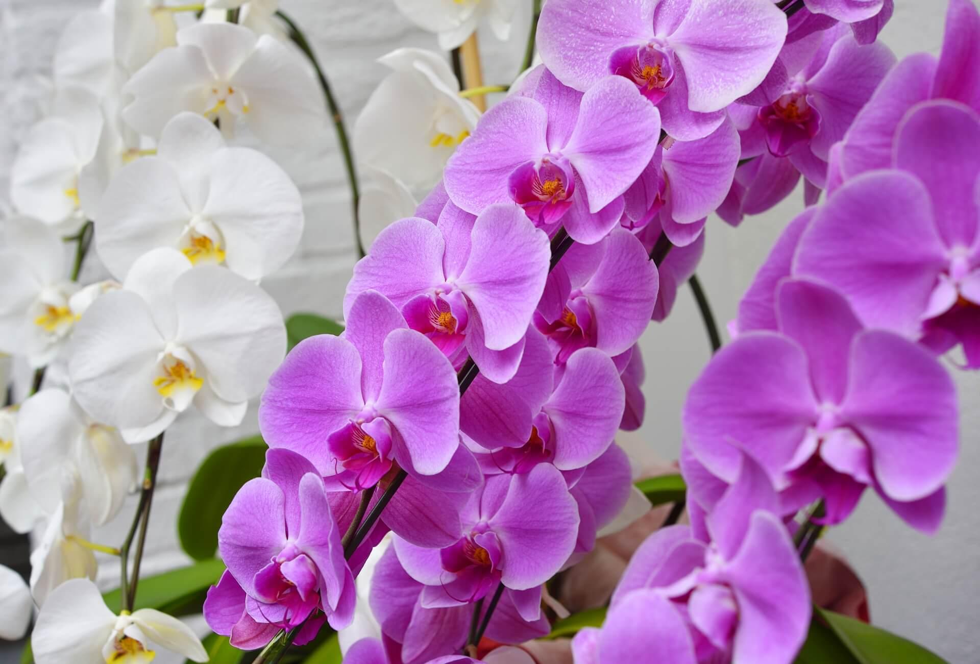 母の日に花を贈るなら、胡蝶蘭もおすすめ