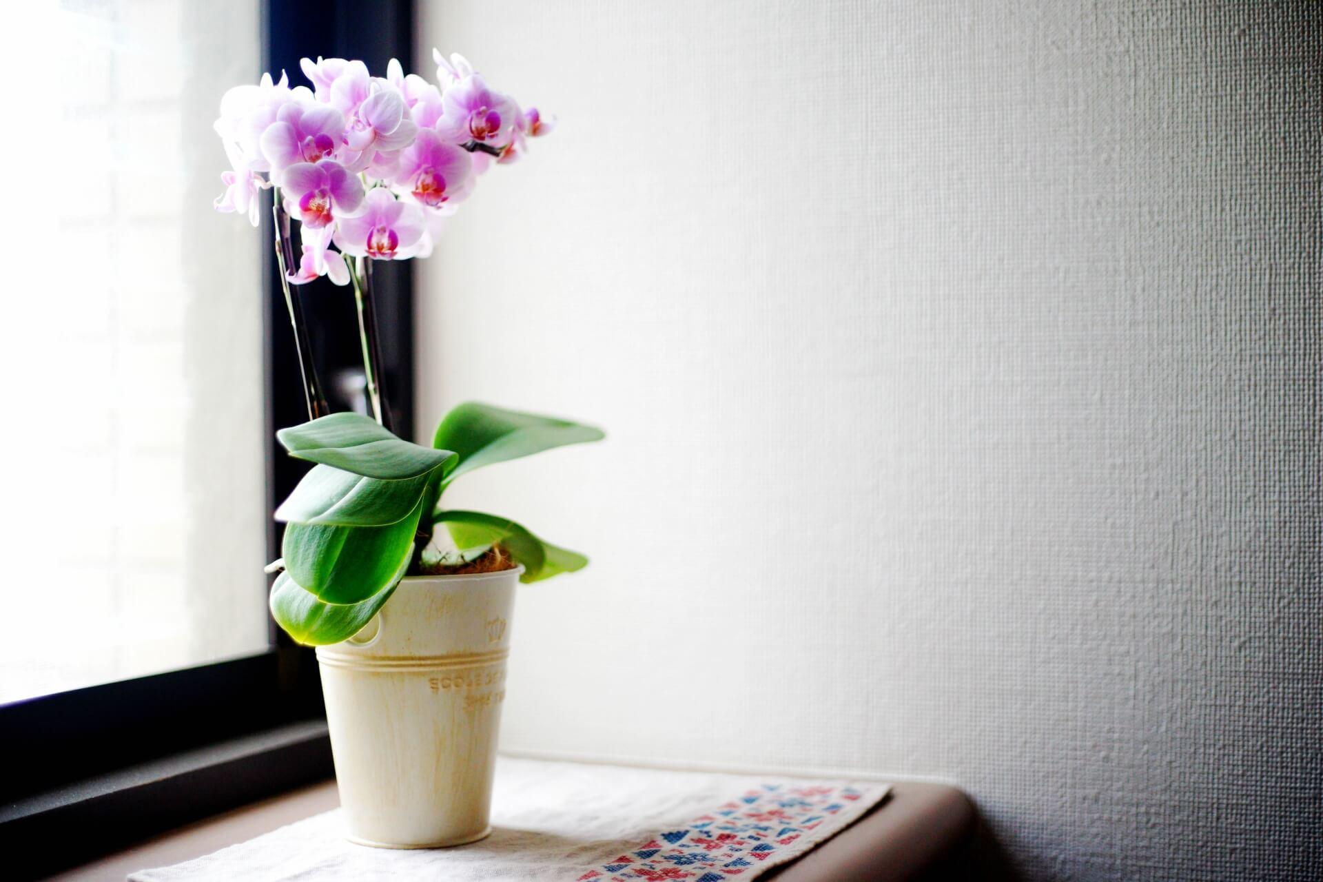 胡蝶蘭のお手入れ方法