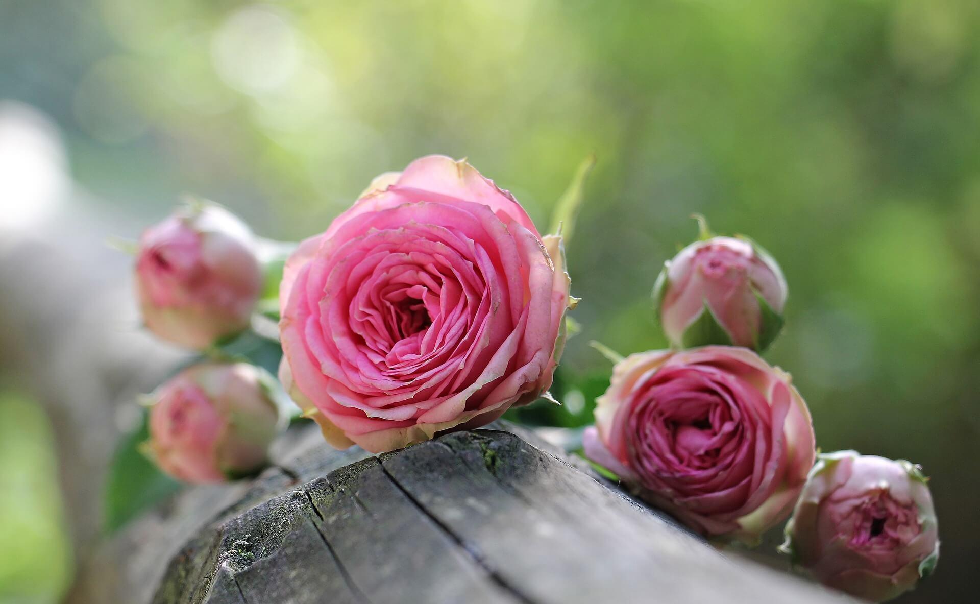 母の日にプレゼントされたバラの育て方