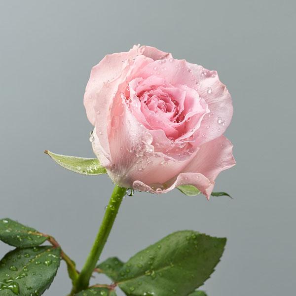 化粧品用に開発した<br>新種のバラ「24」