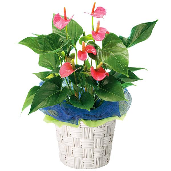 【夏の花贈り特集】アンスリウム鉢 511317 |花キューピットの夏の花贈り特集2020
