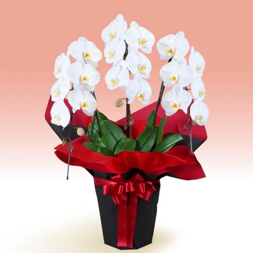 【お祝い】胡蝶蘭 3本立(開花輪白18以上)赤系ラッピング