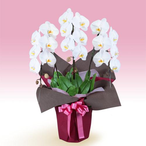【お祝い】胡蝶蘭 3本立(開花輪白18以上)ピンク系ラッピング