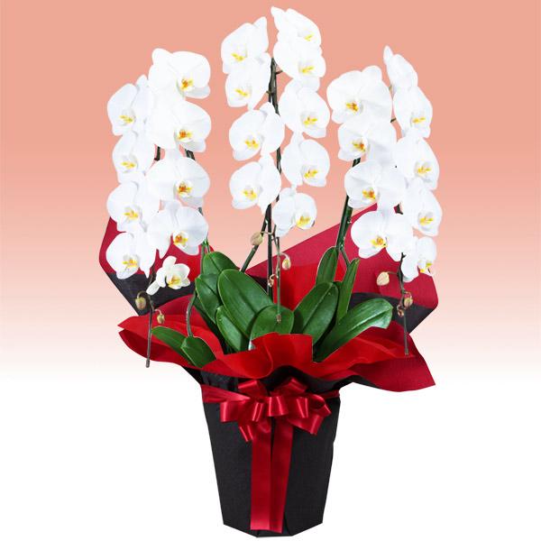 【お祝い】胡蝶蘭 3本立(開花輪白27以上)赤系ラッピング