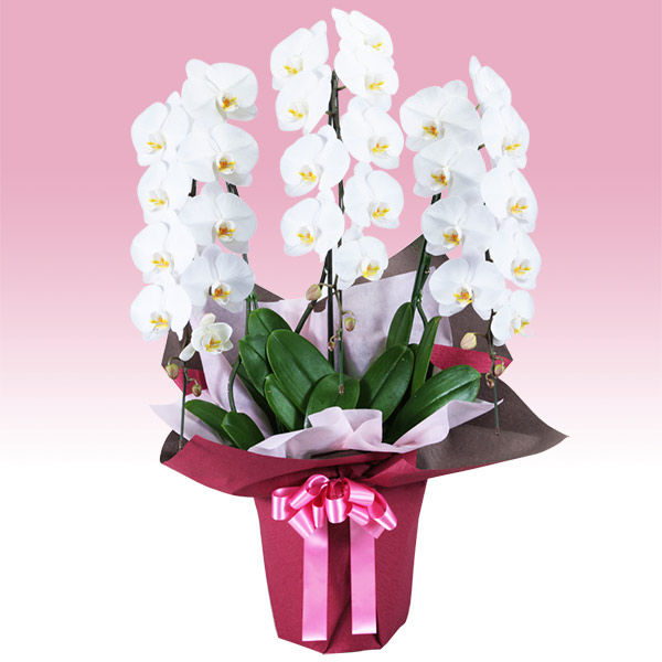 【お祝い(法人)】胡蝶蘭 3本立(開花輪白27以上)ピンク系ラッピング