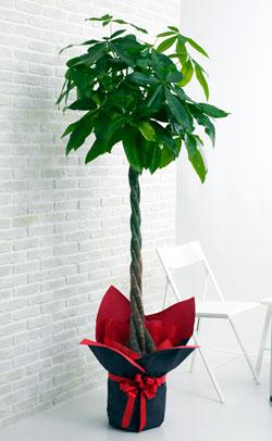 【お花屋さんがお届け!観葉植物】パキラ10号鉢