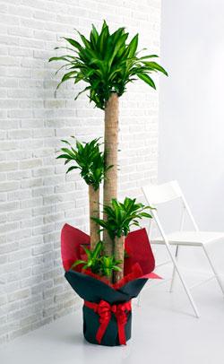 【お花屋さんがお届け!観葉植物】ドラセナ10号鉢