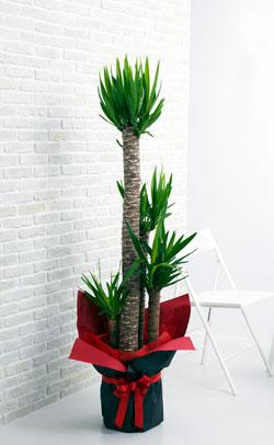【お花屋さんがお届け!観葉植物】ユッカ青年の樹10号鉢