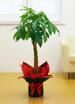 【お花屋さんがお届け!観葉植物】パキラ8号鉢