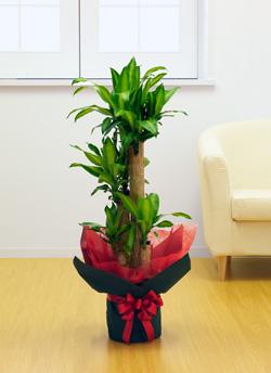 【お花屋さんがお届け!観葉植物】ドラセナ8号鉢
