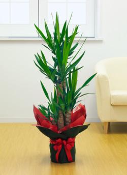 【お花屋さんがお届け!観葉植物】ユッカ青年の樹8号鉢
