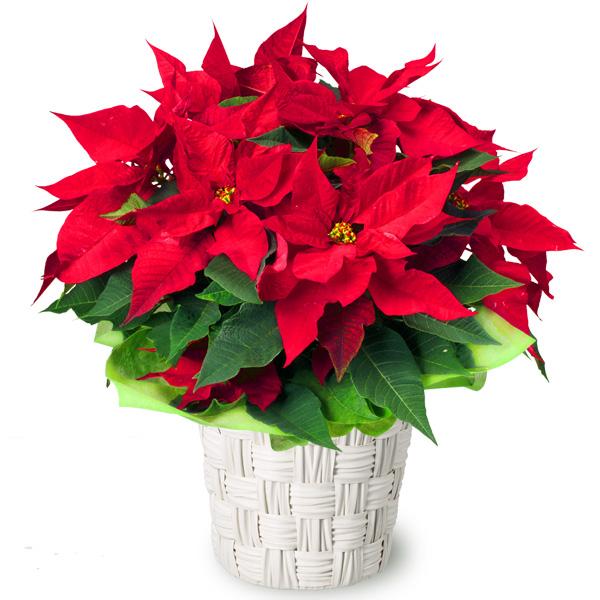 【クリスマスフラワー ランキング】ポインセチア鉢