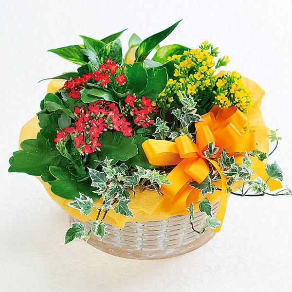 【敬老の日】カランコエの寄せ鉢 522066 |花キューピットの敬老の日プレゼント特集2019