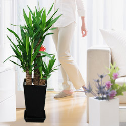 【産直 観葉植物(通年)】ユッカエレファンティペス 青年の樹(黒鉢)