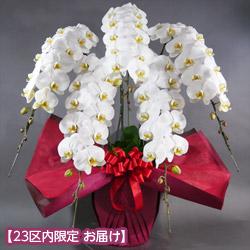 【石毛洋蘭園大輪胡蝶蘭・お祝い(法人)】大輪胡蝶蘭 5本立(開花輪60輪以上)