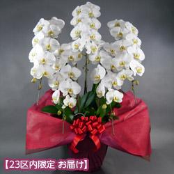 【石毛洋蘭園大輪胡蝶蘭・お祝い】大輪胡蝶蘭 5本立(開花輪55輪以上)